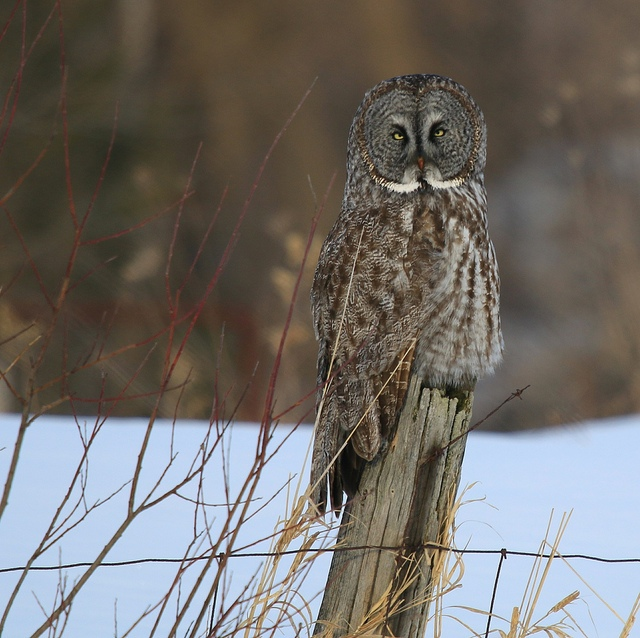 <h5>Great Gray Owl Morning</h5>
