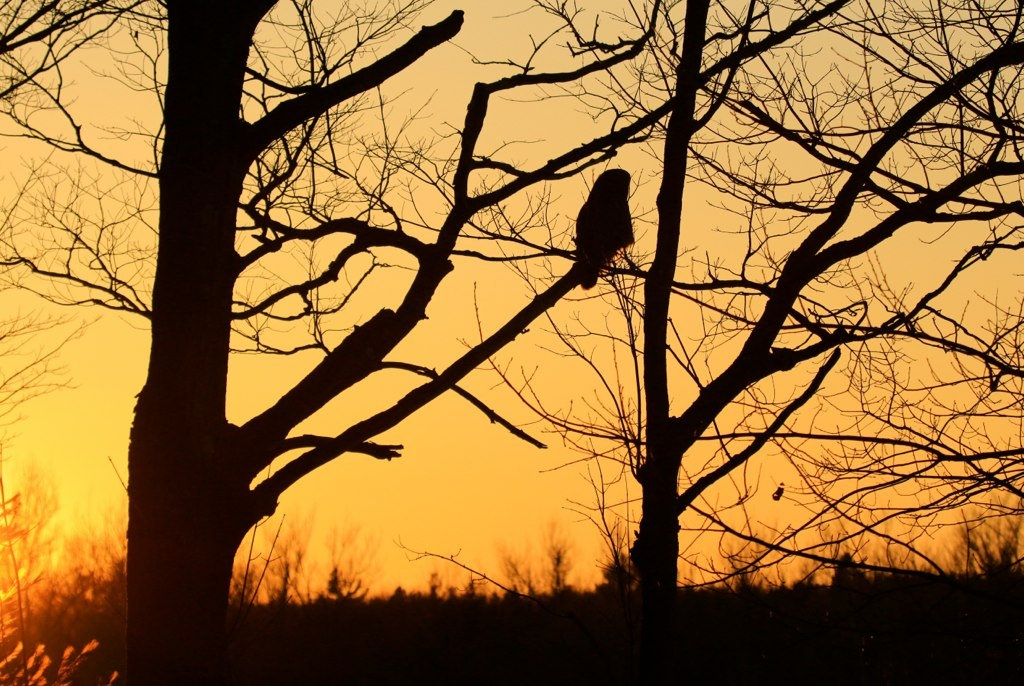 <h5>Great Gray Owl and a Glorious Sunset</h5>