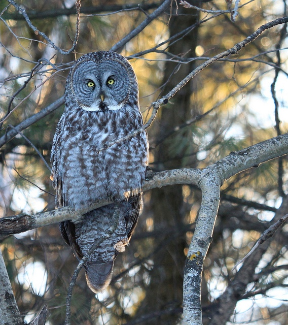<h5>Great Gray Owl Stare</h5>
