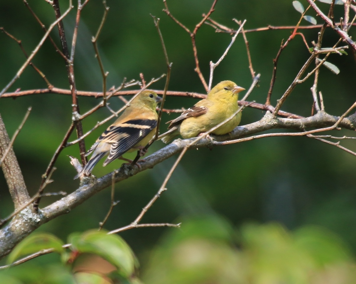 Baby Goldfinches - Leslie Abram Photography