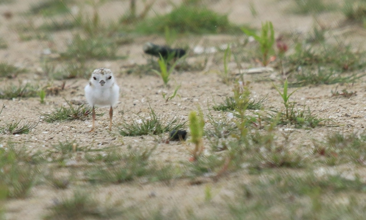 piping plovers presqu'ile park ontario