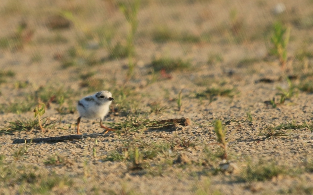 piping plover presqu'ile park ontario canada endangered species