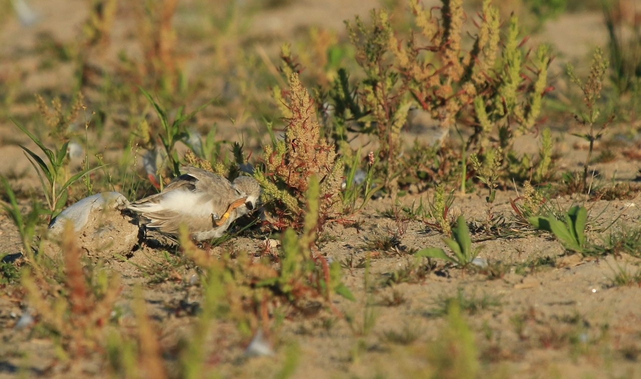 Presqu'ile Piping Plovers