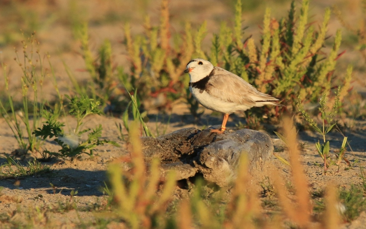 Presqu'ile Park Piping Plovers