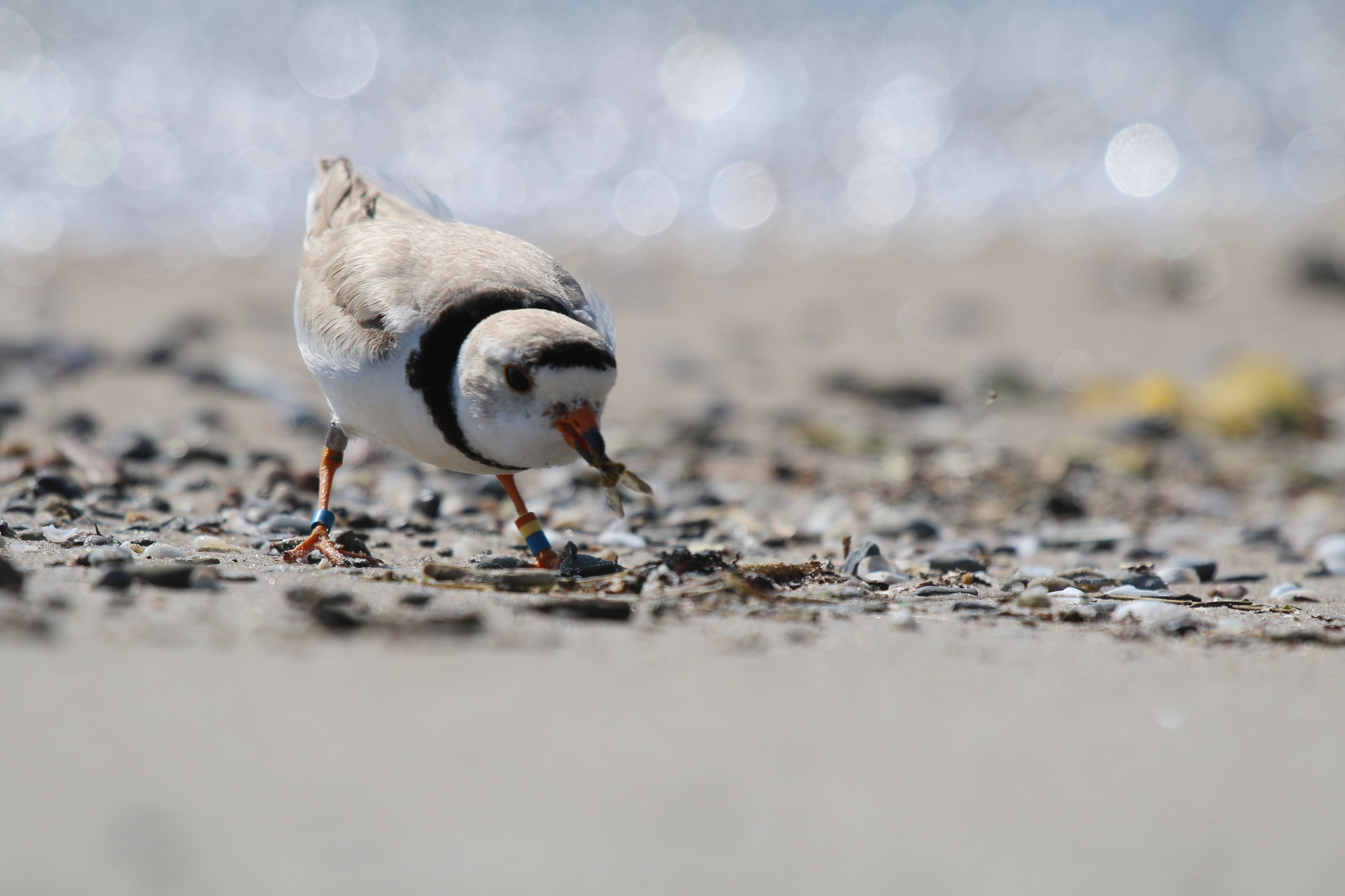 piping plover nest chick north beach