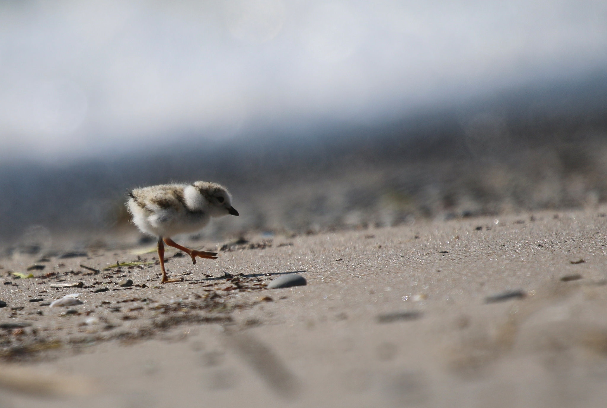 chick plover lake ontario north beach