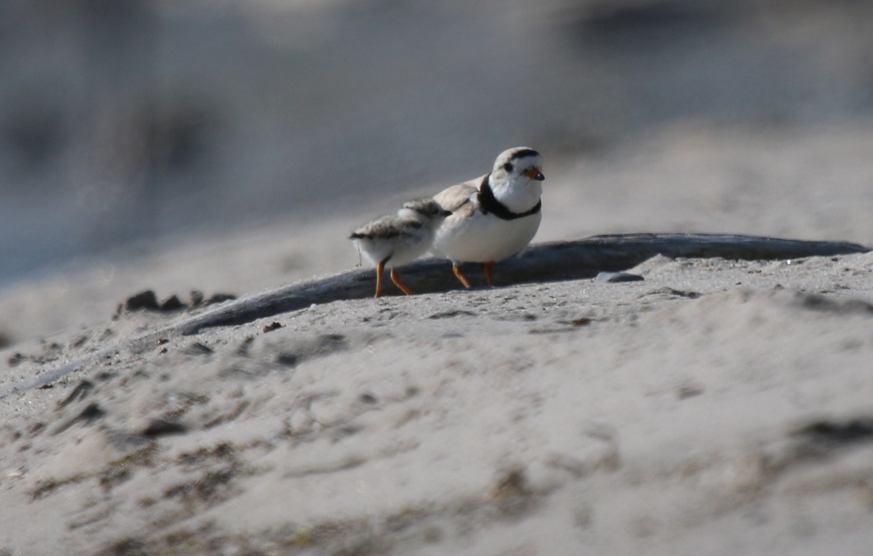 piping plover chick nest north beach lake ontario