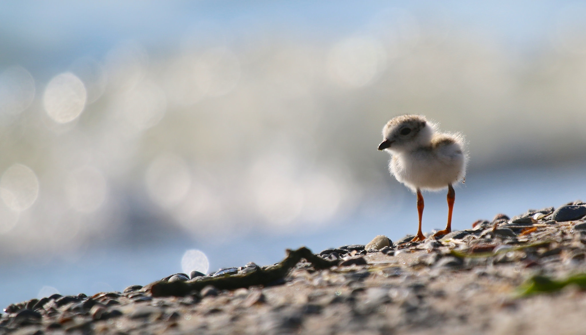 piping plover, lake ontario canada north beach nest chick