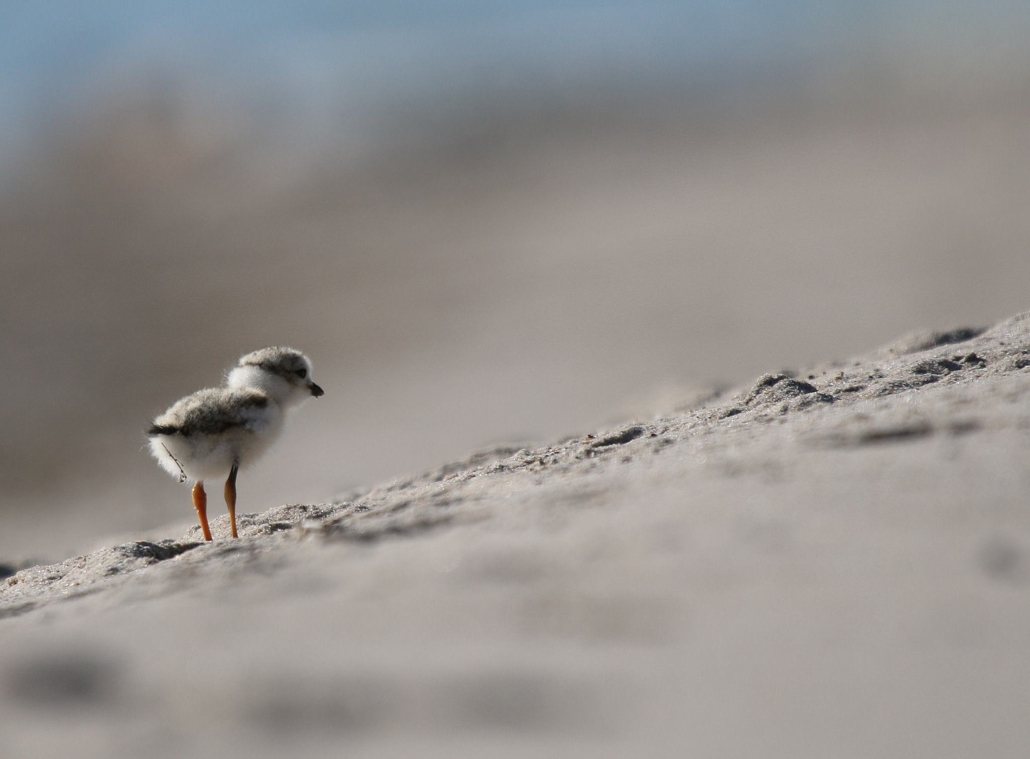 piping plover ontario north beach chick nest canada